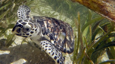 The existence of Hawksbill sea turtles have been traced back 100 million years. Now they are critically endangered, the WWF says.