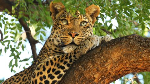 MASHATU, BOTSWANA - JULY 25: A leopard looks out from a tree at the Mashatu game reserve on July 25, 2010 in Mapungubwe, Botswana. Mashatu is a 46,000 hectare reserve located in Eastern Botswana where the Shashe river and Limpopo river meet. (Photo by Cameron Spencer/Getty Images)