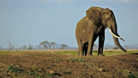 (FILES) A picture taken on October 14, 2013 shows an elephant in Mikumi National Park, which borders the Selous Game Reserve, Tanzania. A third of all illegal ivory seized in Asia comes from Tanzania, and the safari tourism destination has lost over half of its elephants in the last five years, according to the Tanzanian Elephant Protection Society (TEPS). There are 60,000 left but, if poaching continues unabated, Tanzania may see all of its elephants eradicated by the year 2020. The Tanzanian government recently announced plans to train 1,000 new park rangers and buy four helicopters, with much of the money coming from the Howard Buffet Foundation. AFP PHOTO/Daniel Hayduk (Photo credit should read Daniel Hayduk/AFP/Getty Images)