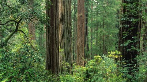 Old-growth coast redwood forest, Sequoia sempervirens, Prairie Creek Redwoods State Park, California, USA, (Photo by Wild Horizons/UIG via Getty Images)