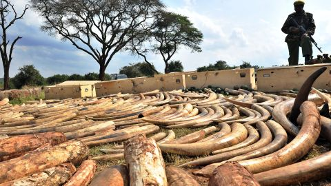 """""""The Ivory Game"""" traces the bloody paper trail of of illegal ivory as it moves between Africa and Asia. Pictured: Kenya Wildlife Services ranger guards an ivory haul in August 2010."""