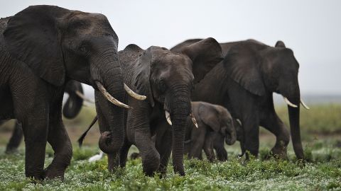 """Ivory traders actually want elephants to go extinct, as this would hike up the price and demand for """"white gold"""", explains Craig Millar of the Big Life Foundation.<br />Pictured: elephants at the Amboseli game reserve, Kenya in December 2012."""