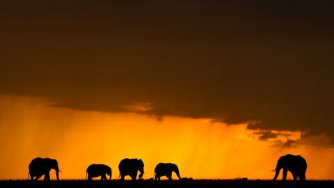 """For director Kief Davidson, it is imperative that the Chinese educate themselves about where ivory really comes from. He hopes """"The Ivory Game"""" will have a massive and immediate impact. Pictured : elephants in Mara North Conservancy, July 2014."""