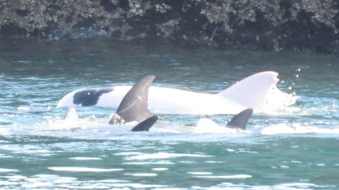 A rare albino dolphin is herded into a small cove by hunters before being captured.