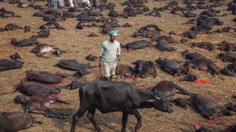 A water buffalo is surrounded by the bodies of sacrificed beasts. Water buffalo are traditionally sacrificed on the Friday of the festival, goats on the Saturday.
