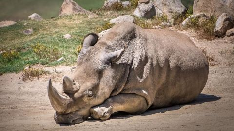 """Kruger National Park is home to roughly 10,000 rhinos -- <a href=""""http://edition.cnn.com/2014/11/30/world/africa/rhino-poaching-kruger-national-park/"""">a quarter of the world's population.</a>"""