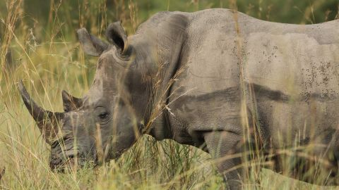 Rhinoceroses in Kruger face a growing threat from poachers due to high demand for the horns from East Asia, where they are used in traditional medicine.