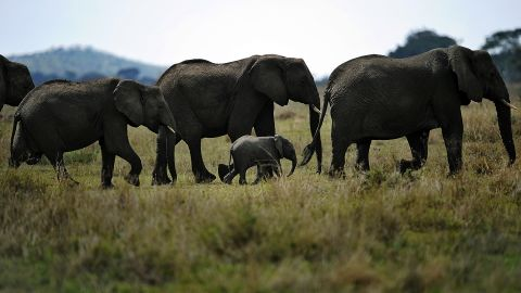 Most of the ivory that's smuggled out of Africa ends up in Asia.