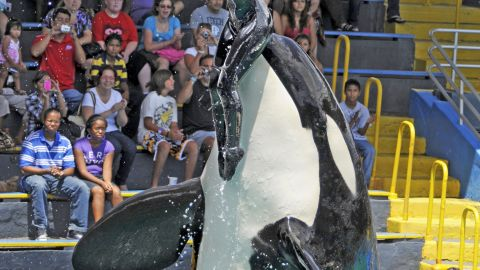Lolita, the Miami Seaquarium's Killer Whale, pushes her trainer, Heather Keenan, up into the air at the finale of her show, which she has performed for the past 40 years. Keenan has worked with Lolita for the past 11 years. (Photo by Marice Cohn Band/Miami Herald/MCT via Getty Images)