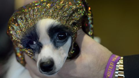 An Italian Greyhound is held in the benching area on February 16.