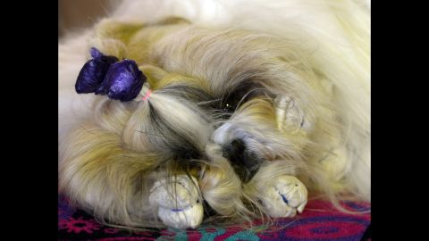 A dog gets groomed on February 16.