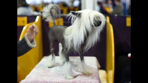 A Chinese Crested stands in the benching area on February 16.