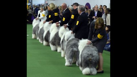 Old English sheepdogs line up in the judging area on February 16.