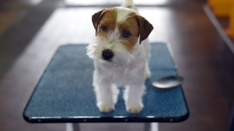 A Jack Russell terrier on February 17.