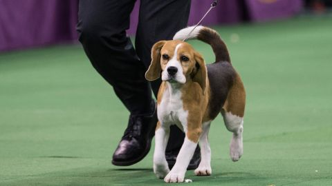 Miss P is shown right before she was named best in show on February 27.