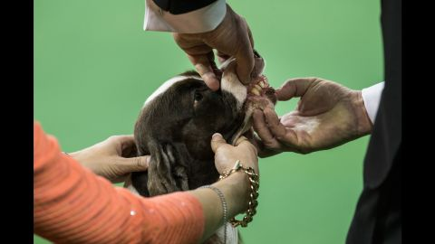 An English springer spaniel is evaluated during the sporting group round on February 17.