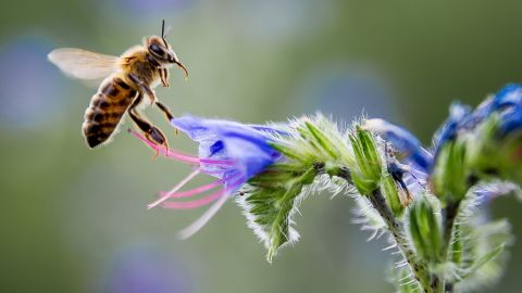 A bee gathers nectar from a flower in Pomarede, southern France, on July 8, 2014. AFP PHOTO / PHILIPPE HUGUEN        (Photo credit should read PHILIPPE HUGUEN/AFP/Getty Images)