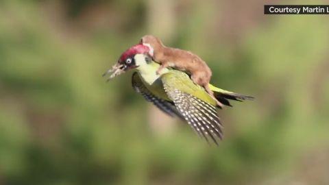erin pkg moos weasel woodpecker flies_00000000.jpg