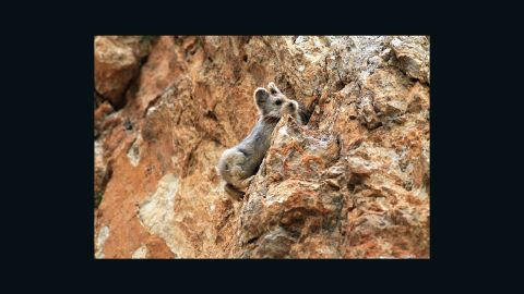 Li says the pika's habitat has been affected by global warming. Due to rising temperatures, glaciers have receded and the altitude of permanent snow has risen in the Tianshan mountains, forcing the pikas to gradually retreat further up the mountain peaks.