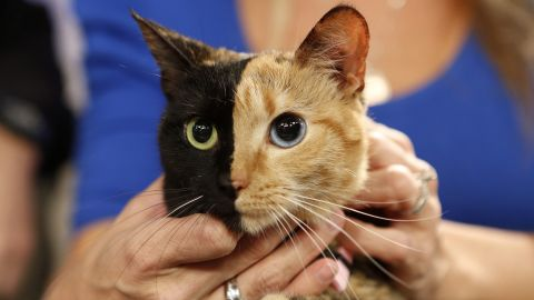 """<a href=""""http://www.newrepublic.com/article/118725/venus-chimera-cat-explained-geneticist"""" target=""""_blank"""" target=""""_blank"""">Venus</a>, a cat with unusual genetic traits, appeared on NBC News' """"Today"""" show. Her face is half black, half orange. Her eyes: one blue and one green."""