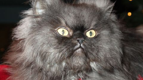 """<a href=""""http://www.today.com/pets/colonel-meow-internet-star-worlds-furriest-cat-has-died-2D12023699"""" target=""""_blank"""" target=""""_blank"""">Colonel Meow</a> at the Internet Cat Super Group holiday event at Capitol Records Tower in 2013 in Los Angeles. A Himalayan-Persian crossbreed, he held the <a href=""""http://www.cnn.com/2014/01/31/tech/social-media/apparently-this-matters-rip-colonel-meow/"""">Guinness World Record</a> for cat with the longest fur."""