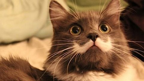 """Hamilton, dubbed the """"Hipster Cat,"""" has a white marking under his nose that looks like Salvador Dali's mustache. He was rescued from a shelter by comedian Jay Stowe after being abandoned in San Francisco. The moggie has many followers on <a href=""""https://instagram.com/hamilton_the_hipster_cat"""" target=""""_blank"""" target=""""_blank"""">Instagram</a>, and landed a T-shirt deal with clothing retailer The Mountain."""