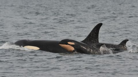 """Puget Sound whale researchers confirm the local killer whale population is in the middle of a """"baby boom"""".  4 new baby orcas in the last three months."""