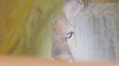 dnt mountain lion p 22 sneaks into home_00000622.jpg