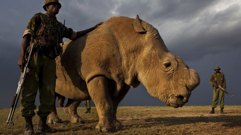 """RESTRICTED ONE TIME USE   OL PEJETA CONSERVANCY, KENYA, JULY 2011:  A four man anti-poaching team permanently guards Northern White Rhino on Ol Pejeta Conservancy in Kenya, 13 July 2011. The Ol Pejeta Conservancy is an important """"not-for-profit"""" wildlife conservancy in the Laikipia District of Kenya and the largest sanctuary for black rhinos in East Africa. It is also the home of 4 of the world's remaining 8 Northern White Rhino, the worlds most endangered animal. There has been an increase in poaching incidents on Ol Pejeta recently, in line with a massive worldwide increase in rhino poaching linked to the rise in the Asian middle class. Anti-poaching teams provide close protection to the rhino, with 24 hour observation over all rhino on Ol Pejeta and 24 hour armed guard protection over the 4 Northern White Rhino who are kept in their own Boma area. The team have developed extraordinary relationships with these Rhino, leaning on them, scratching them and displaying tremendous affection towards these most endangered of animals. Each of the men in these teams feels a genuine vocation towards the protection of these animals, something the rhino seem to sense, and this emerges on a daily basis as the men walk with the rhino through their day. (Photo by Brent Stirton/Reportage for National Geographic.)"""