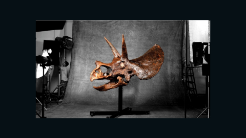 This 65 million-year-old male Triceratops skull is on sale for $1.8 million.
