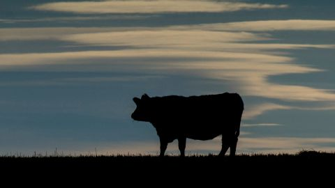 Mad cow disease got its name in the 1980s from the ranchers who first noticed their cattle stumbling around.