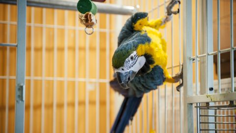 Parrot fever can infect parrots, parakeets and macaws, but rarely causes symptoms for them. It can, however, cause fever, chills, headache and pneumonia in people.