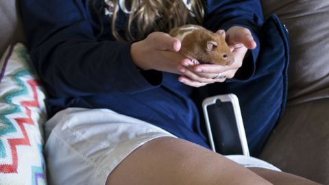 """Hamsters and other """"pocket pets"""" can carry lymphocytic choriomeningitis virus  (LCMV). The virus typically causes flu-like symptoms, including fever and muscle aches."""