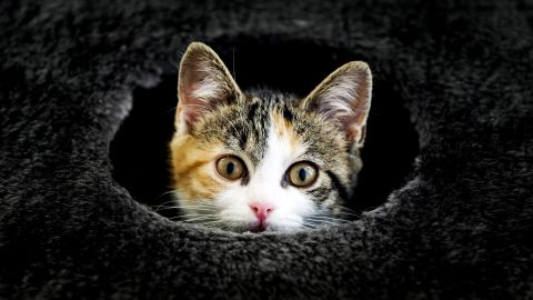 Some of your feline's favorite activities, licking and scratching, can give you the bacterium that causes cat scratch fever, which leads to swollen lymph nodes. Cats also can transmit campylobacter infections, causing symptoms of diarrhea, cramping, abdominal pain, and fever.
