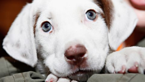 Roundworm is one of the most common diseases that we get from dogs. Every year there are about 10,000 cases of roundworm spreading through the body and causing fever and fatigue. Dogs and puppies also can transmit campylobacter infections. Symptoms include diarrhea, cramping, abdominal pain and fever.
