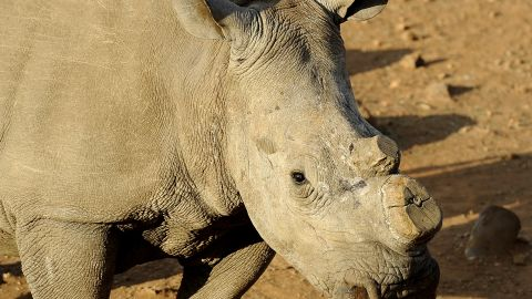 Rhinos are being poached in record numbers, and the Californian startup believe an ethical alternative will undermine the black market.