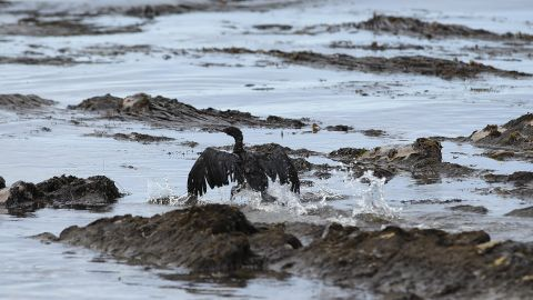A bird covered in oil flaps its wings on May 21.