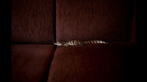 """A baby alligator was one of the wild animals photographed in Joao Castilho's """"Zoo"""" series. All of the animals were photographed in homes. """"I wanted to shuffle positions and boundaries that sometimes are too rigid,"""" Castilho said."""