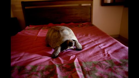 A tortoise rests on a bed. All of the animals were cared for by nongovernmental organizations in Brazil.
