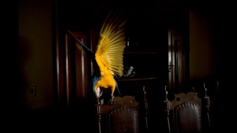 A macaw takes a seat. For his shoots, Castilho tried to choose homes close to where the animals lived.