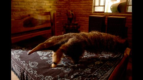 A giant anteater walks on a bed.