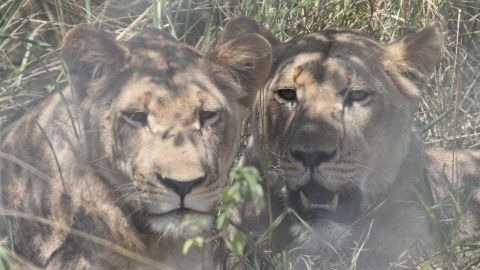 Rwanda's new lions will spend a few weeks to acclimatize and be monitored by the Akagera National Park veterinary team.