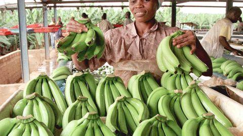 An Ivorian woman works at a bananas plantation in Bonne, 100 km north of Abidjan.
