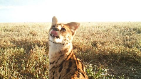 One thing Swanson discovered from the research was how cheetahs, hyenas and jackals share the same landscape with lions without getting injured.