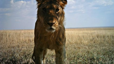 In 2010, researcher Alexandra Swanson set up 225 camera traps across the Serengeti National Park in Tanzania.