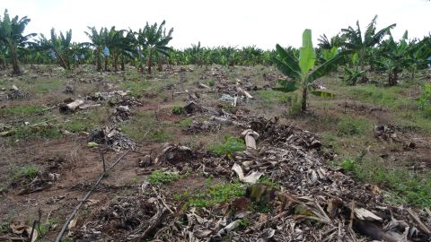 The effect of the disease in a banana plantation in northern Mozambique.