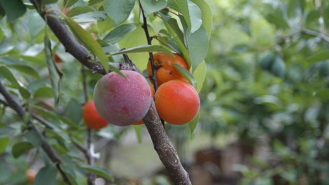 Perhaps more shocking than seeing various colored blossoms on the same tree is seeing different fruits growing side by side. Van Aken has worked with more than 250 stone fruit varieties on the tree project.