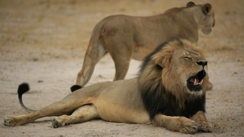 """Cecil the lion probably never knew how beloved he was. The Zimbabwean lion, who was killed on a hunt in early July, was a popular attraction among visitors to Hwange National Park thanks to his status in some studies run by Oxford University scientists. Now, he's world-famous -- and<a href=""""http://www.cnn.com/2015/07/29/africa/zimbabwe-cecil-the-lion-killed/index.html""""> the men accused of killing him are in legal trouble</a>."""