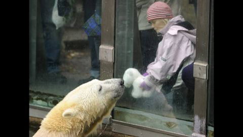 """Knut the polar bear was a star at the Berlin Zoo despite a rough start in life. As a cub, he was abandoned by his mother, but a zookeeper hand-raised him to adulthood. <a href=""""http://www.cnn.com/2011/WORLD/europe/03/21/germany.knut.dies/"""">His death of encephalitis in 2011</a>, when he was 4, shocked fans. """"Knut was something very special,"""" said a zoo board member."""