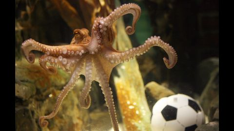 """It's not often that an octopus becomes widely admired, but when you can pick World Cup winners, you can write your own ticket. Paul the octopus, a resident of the Sea Life Centre in Oberhausen, Germany, correctly predicted the winner of every German match in the 2010 World Cup -- and then <a href=""""http://www.cnn.com/2010/WORLD/europe/07/13/germany.paul.the.octopus/"""">nailed the final, too</a>. He <a href=""""http://edition.cnn.com/2010/SPORT/10/26/germany.paul.octopus.death/"""">died of natural causes</a> a few months later."""